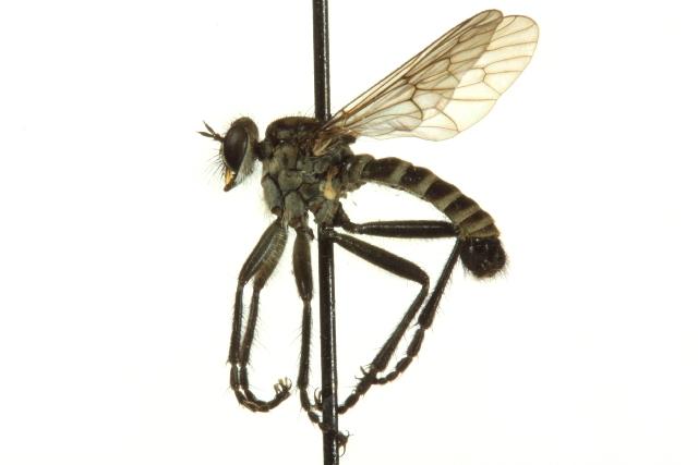 Image of <i>Lasiopogon pugeti</i> Cole & Wilcox 1938