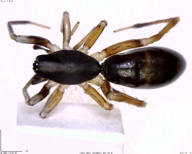 Image of Castianeira