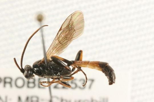 Image of <i>Ichneumon oblongus</i> Schrank 1802
