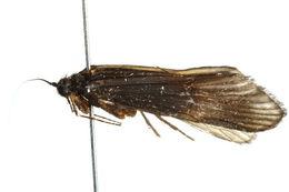 Image of <i>Taschorema</i>