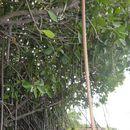 Image of Mangrove