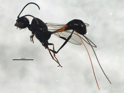 Image of aulacid wasps