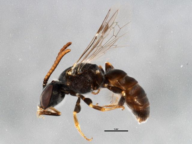 Image of <i>Lasioglossum platycephalum</i> (Rayment 1927)