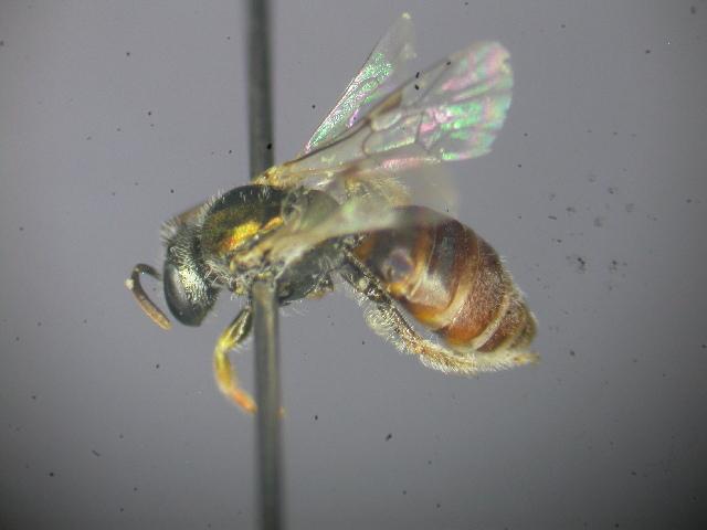 Image of <i>Lasioglossum immaculatum</i> Walker 1995