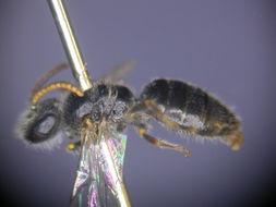 Image of <i>Euryglossa panmicta</i>