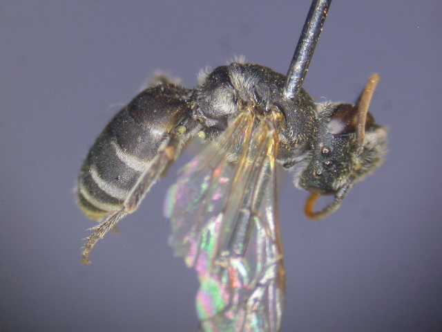Image of <i>Euryglossa</i>