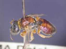 Image of <i>Euryglossa rhodochlora</i> Cockerell 1914