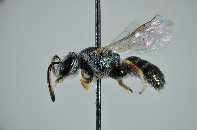 Image of <i>Lasioglossum soror</i> (Saunders 1901)