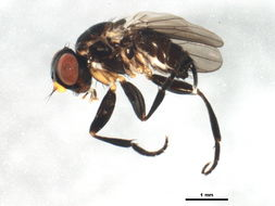 Image of <i>Axinia brevicentrum</i> Colless 1994