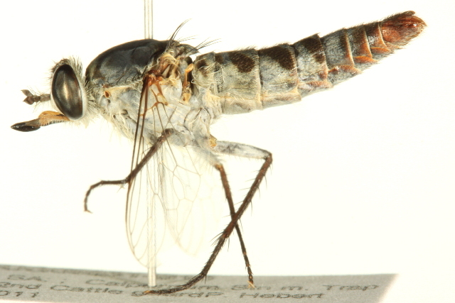 Image of flower-loving flies