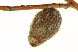 Image of <i>Apiomorpha malleeacola</i> Gullan 1984