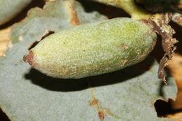 Image of <i>Apiomorpha conica</i> (Froggatt 1893)