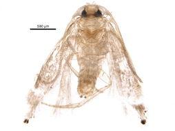 Image of white cap-eye moths