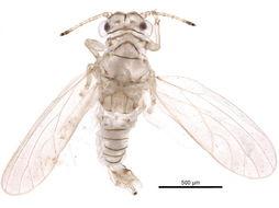 Image of Acacia Psyllid