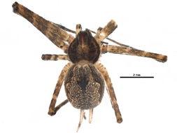 Image of hersiliids