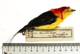Image of Ceratopipra Bonaparte 1854