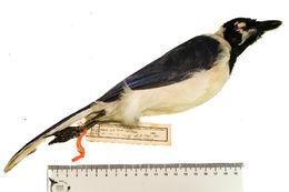 Image of Cyanocorax Boie & F 1826