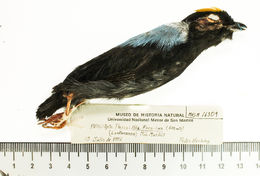 Image of Chiroxiphia Cabanis 1847