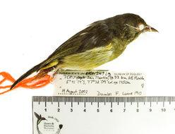 Image of Hylophilus Temminck 1822