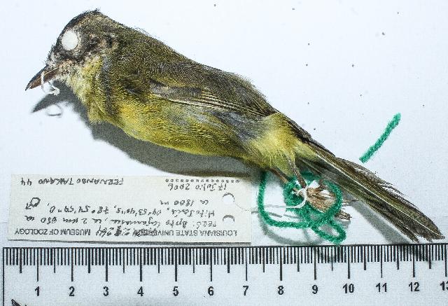 Image of Basileuterus Cabanis 1849