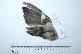 Image of Mimus Boie & F 1826