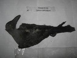 Image of Corvus Linnaeus 1758