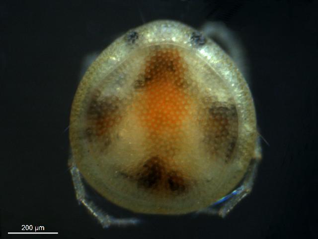 Image of Krendowskiidae