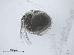 Image of <i>Bunops serricaudata</i> (Daday 1884)