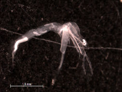 Image of Leptodora