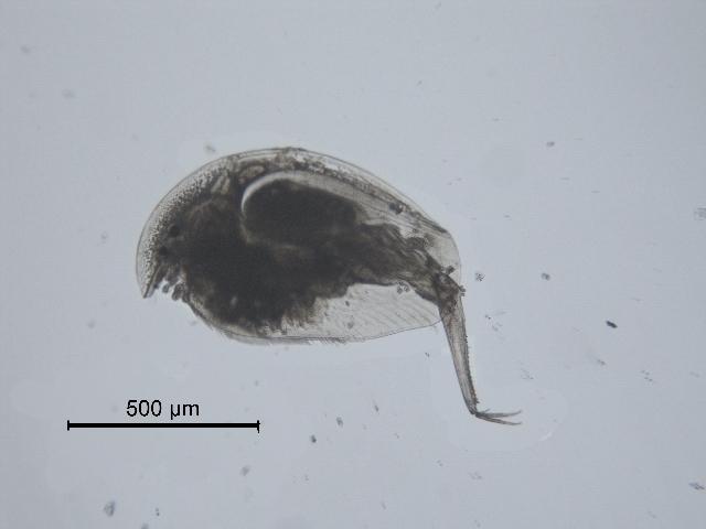 Image of <i>Camptocercus dadayi</i> Stingelin 1913