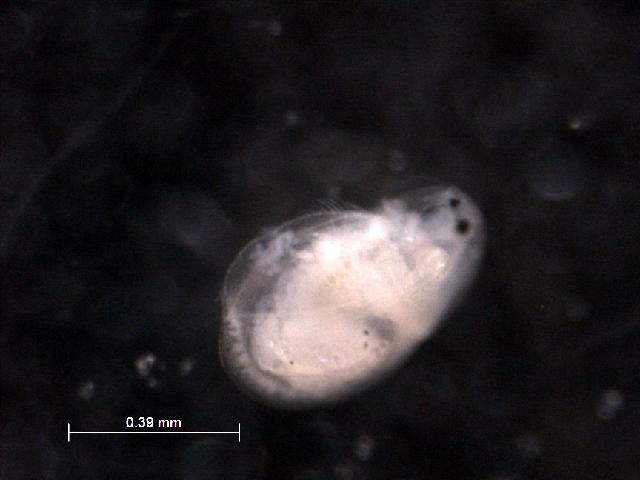 Image of <i>Drepanothrix dentata</i> (Eurén 1861)