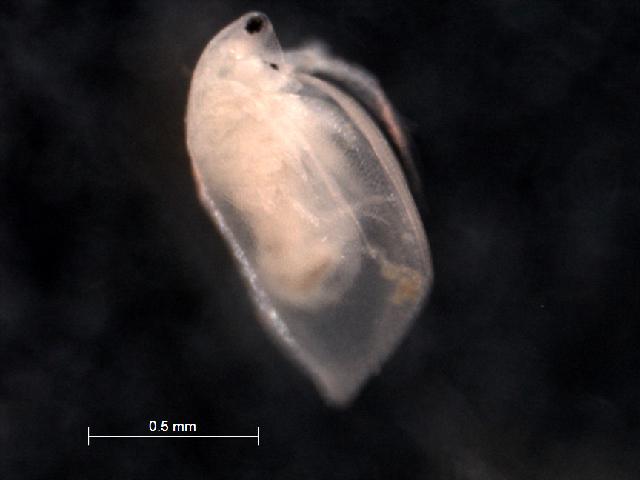 Image of <i>Simocephalus punctatus</i> Orlova-Bienkowskaja 1998