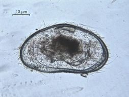 Image of Cypridopsis