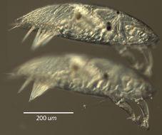 Image of Lithoglyptidae