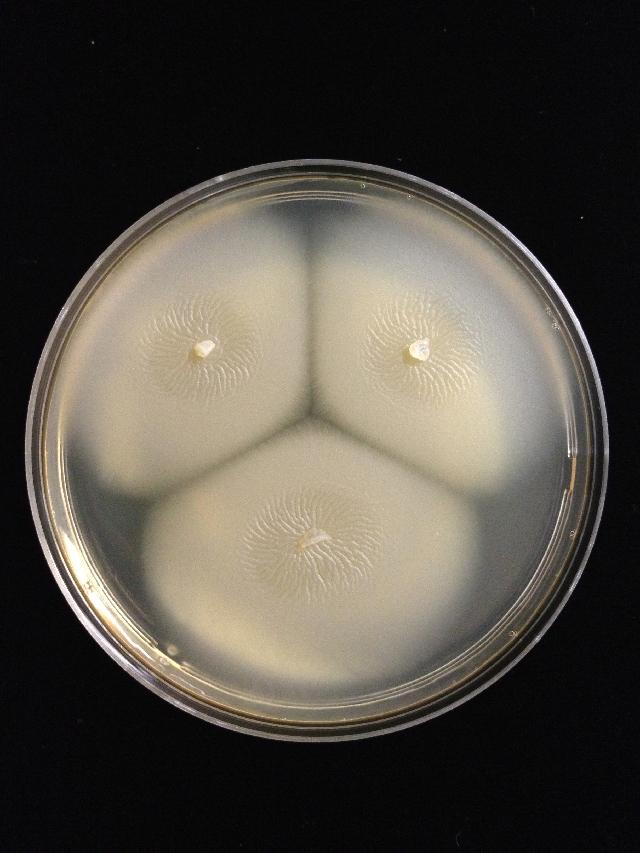 Image of <i>Basidioascus magus</i> H. D. T. Nguyen, N. L. Nick. & Seifert 2013