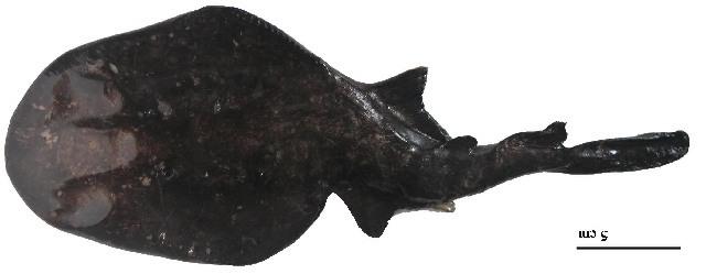 Image of Narcininae