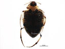 Image of <i>Peltodytes edentulus</i> (Le Conte 1863)