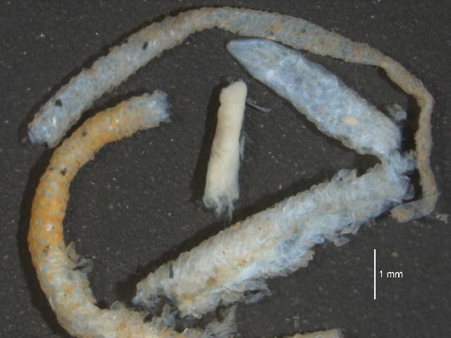 Image of Spindle-shaped Tubeworm