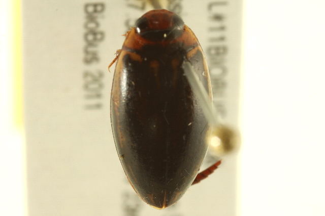 Image of Coptotomus