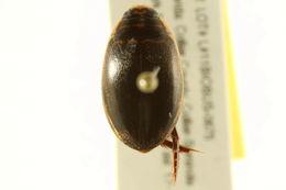 Image of <i>Thermonectus basilaris</i>