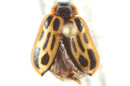 Image of Cottonwood Leaf Beetle