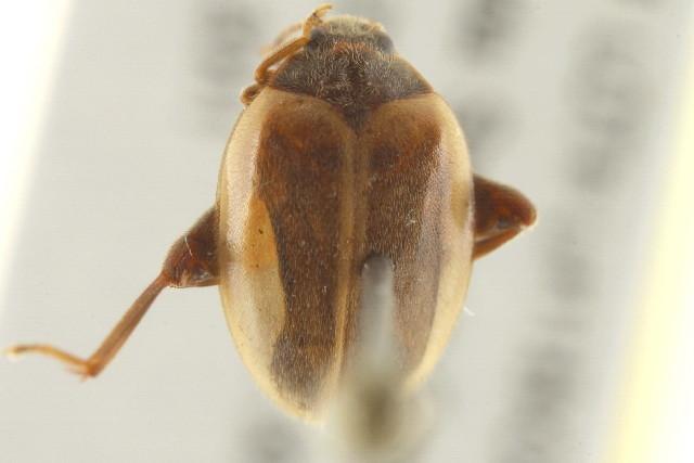 Image of <i>Cycloneda <i>sanguinea</i></i> sanguinea (Linnaeus 1763)