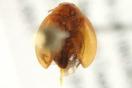 Image of <i>Scirtes tibialis</i> Guerin-Meneville 1843