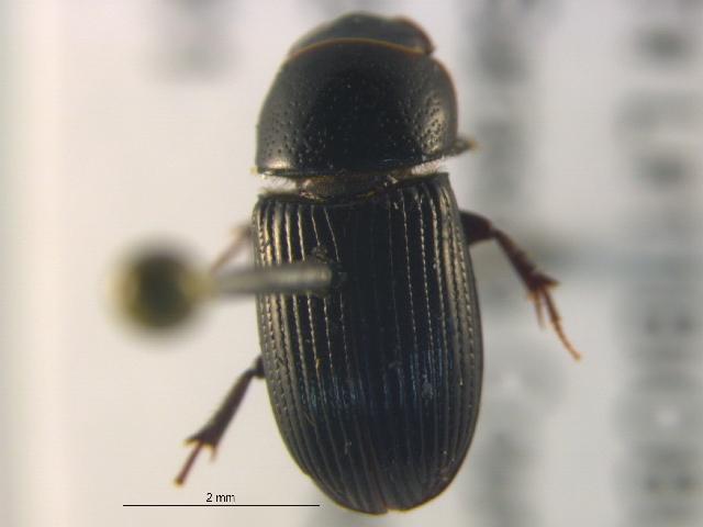 Image of Black Turfgrass Ataenius