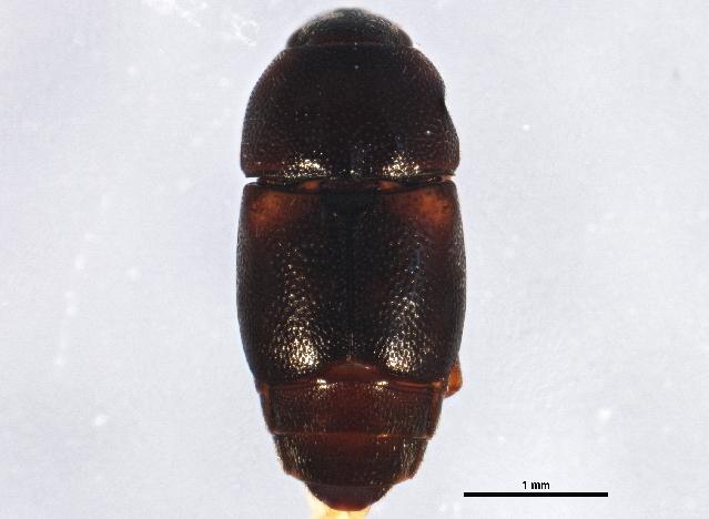 Image of Carpophilinae