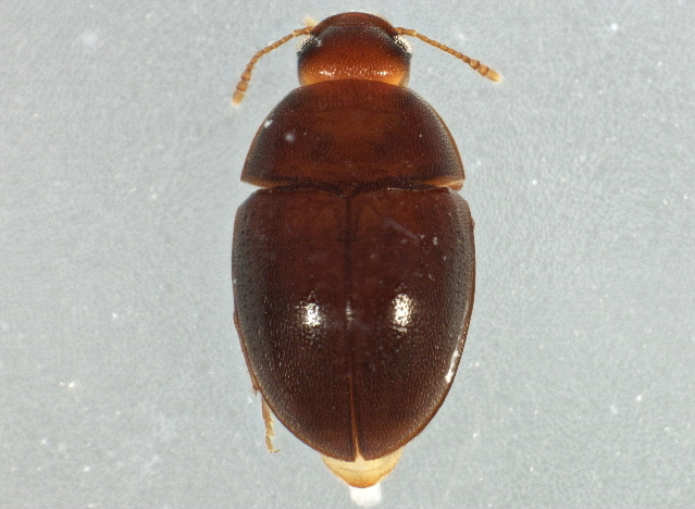 Image of cryptic fungus beetles