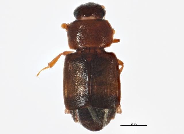 Image of <i>Carpophilus discoideus</i> Le Conte 1858