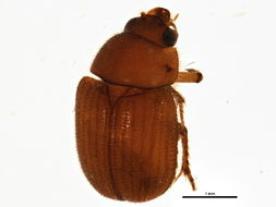 Image of <i>Parochodaeus biarmatus</i> (Le Conte 1868)