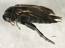 Image of Hoshihananomia