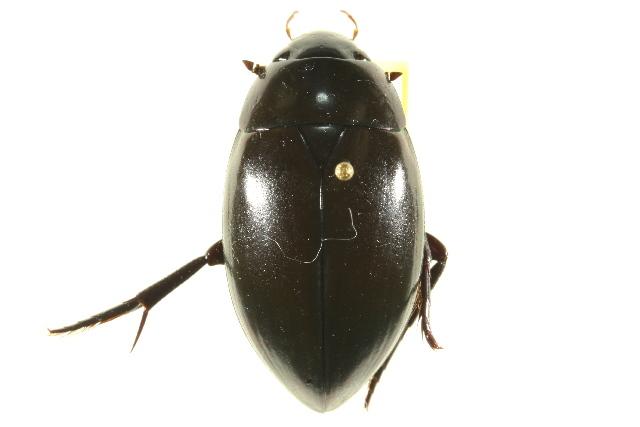 Image of <i>Hydrophilus</i> (<i>Dibolocelus</i>) <i>ovatus</i> Gemminger & Harold 1868